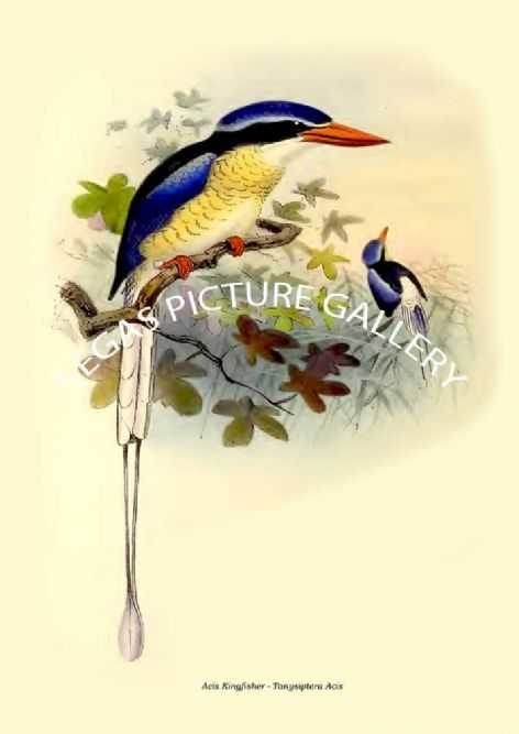 Fine art print of the Acis Kingfisher - Tanysiptera Acis by  the artist Johannes Gerardus Keulemans (1868-1871)